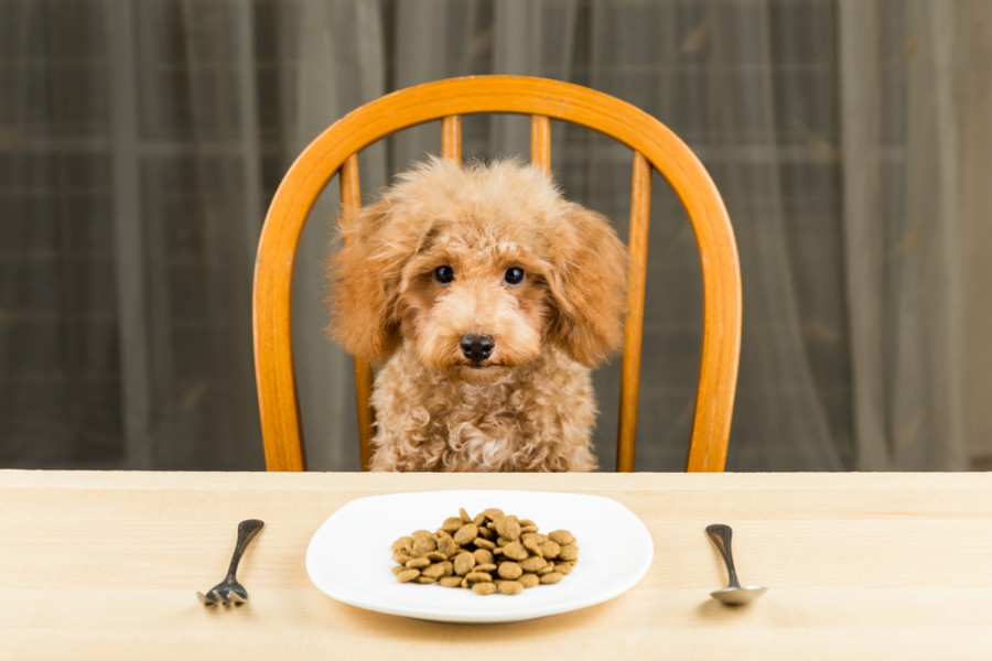 A bored and uninterested Poodle puppy with a plate of kibbles, via Shutterstock.