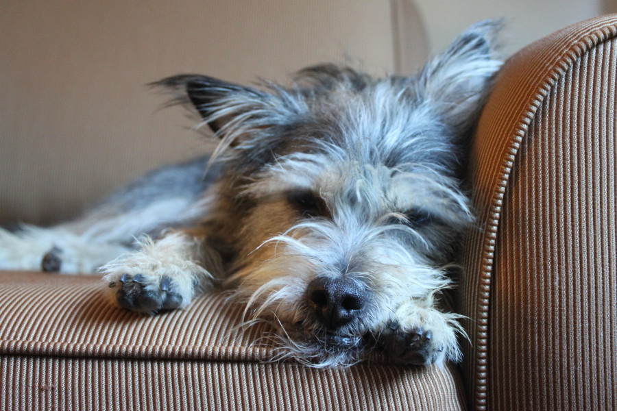 Seymour, Darcy Matheson's rescue pup, adopted from Big and Small Rescue Society.